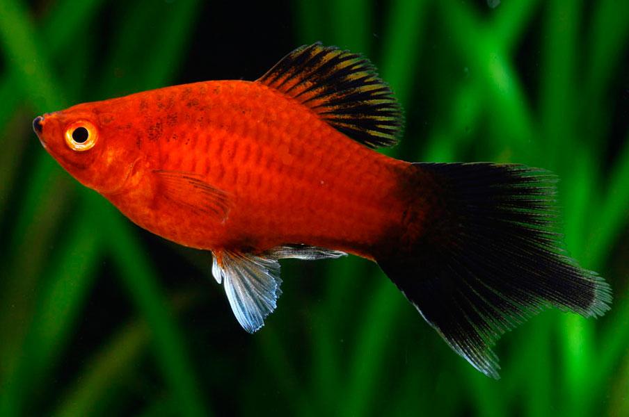 04-3.Platy Moonfish.jpg
