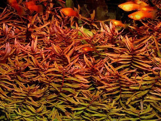 1391361760_ammannia-gracilis-04.jpg