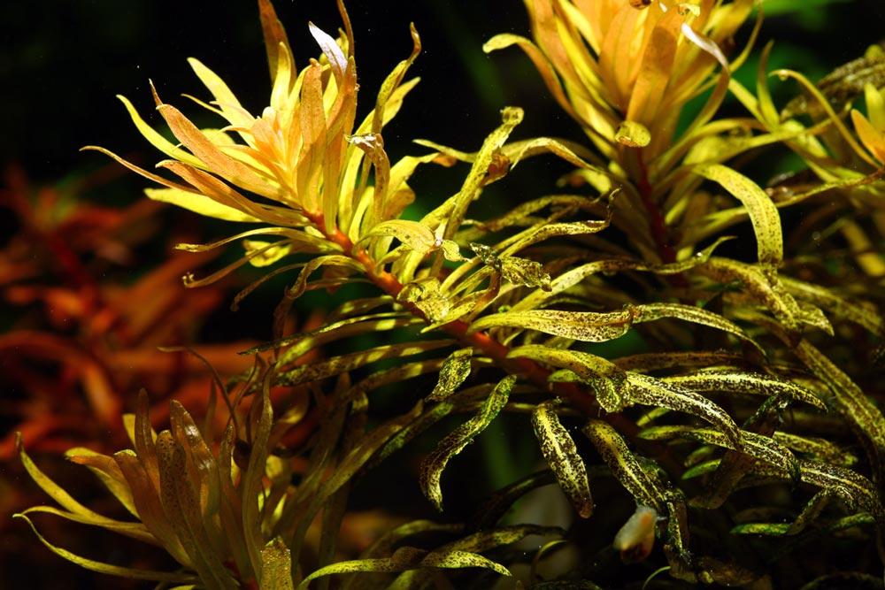 25-3-Ammannia-crassicaulis.jpg
