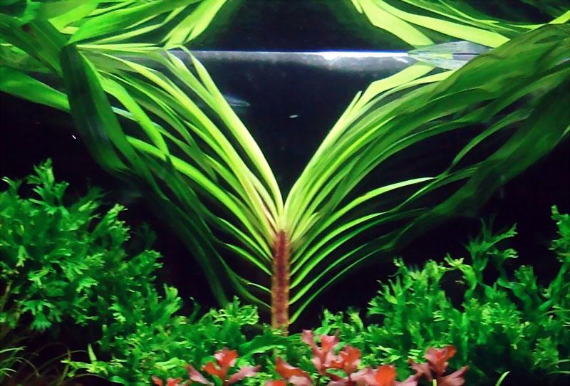 59-2.Eichhornia-azurea.jpg