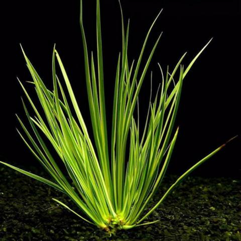 acorus-gramineus-var-decoratus-1.jpg
