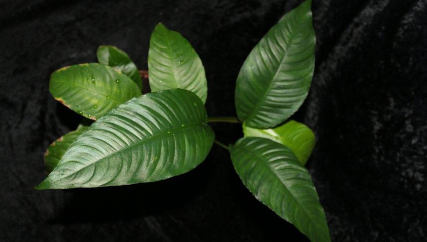 Аквариумное_растение_анубиас_конголезский_—_копия_—_копия_—_копия.jpg