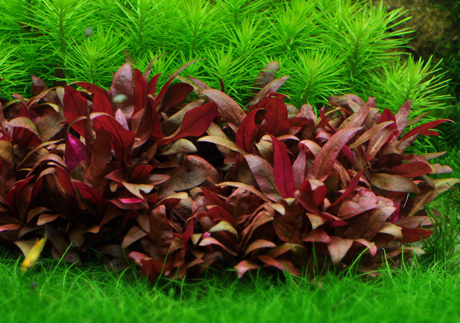 Alternanthera-Reineckii-Mini-Care-Sheet-Reineckii-Mini-for-sale-and-where-to-buy-AquaticMag-3.jpg