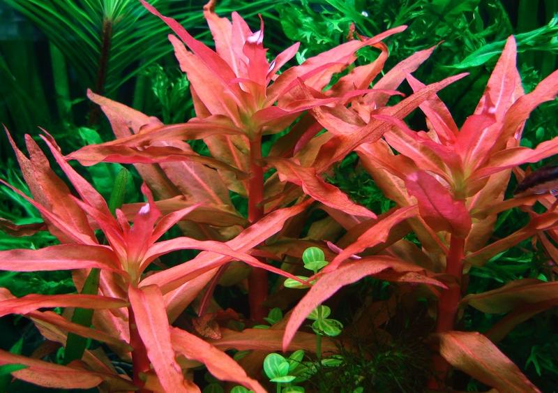 Ammannia-gracilis1.jpg