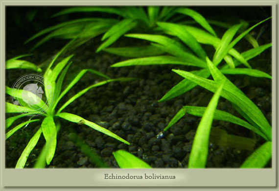 bolivianus1_gallery.jpg
