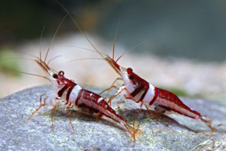 Caridina spongicola.jpg