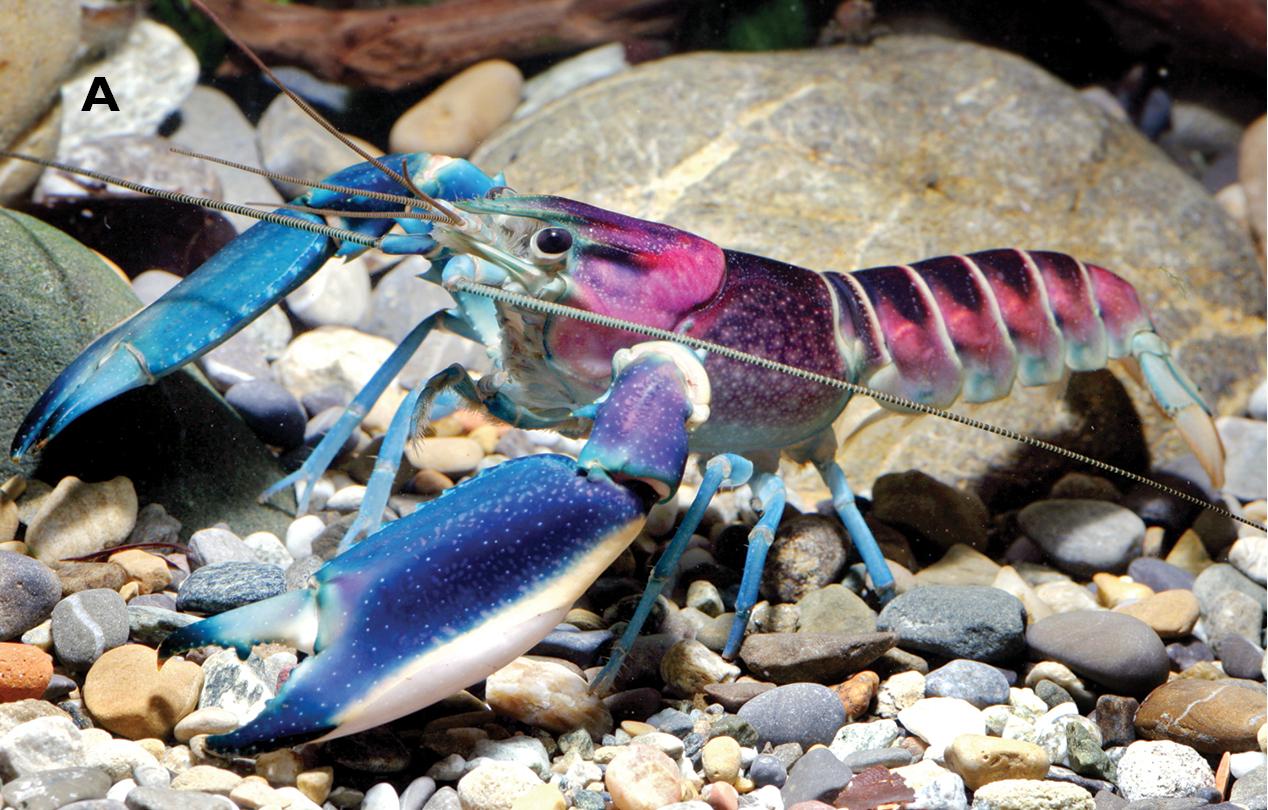 cherax-pulcher-crayfish.jpg