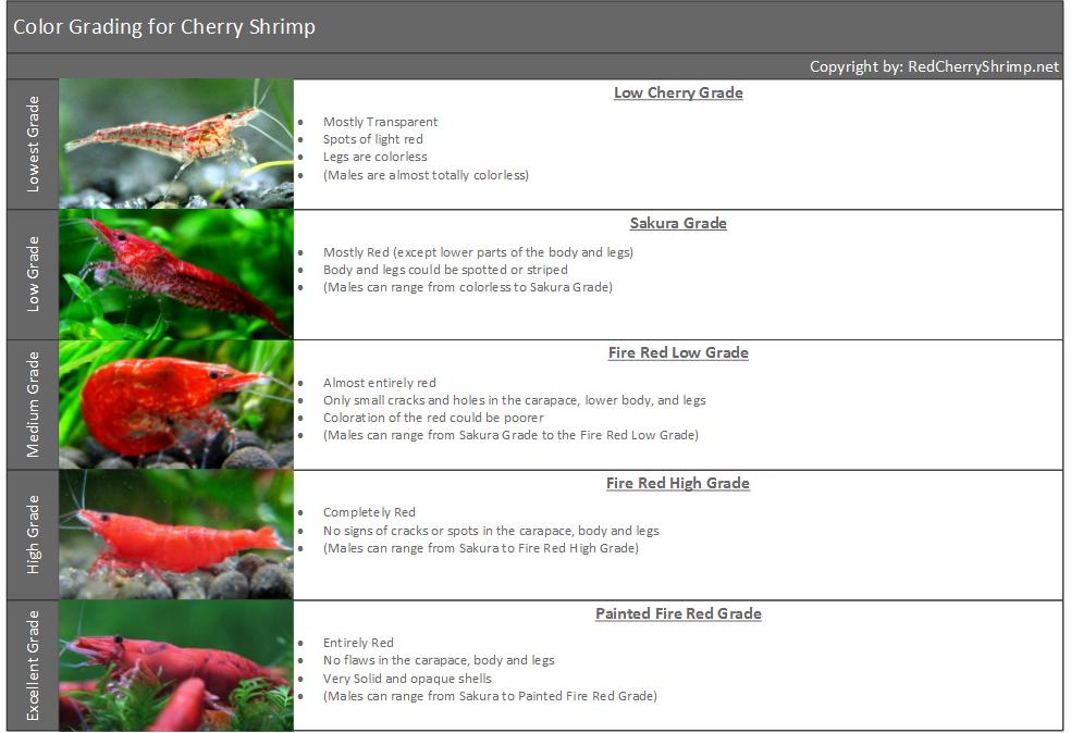 Cherry-Shrimp-Grading-for-Freshwater-Shrimp-in-Aquariums-Red-Cherry-Shrimp.png