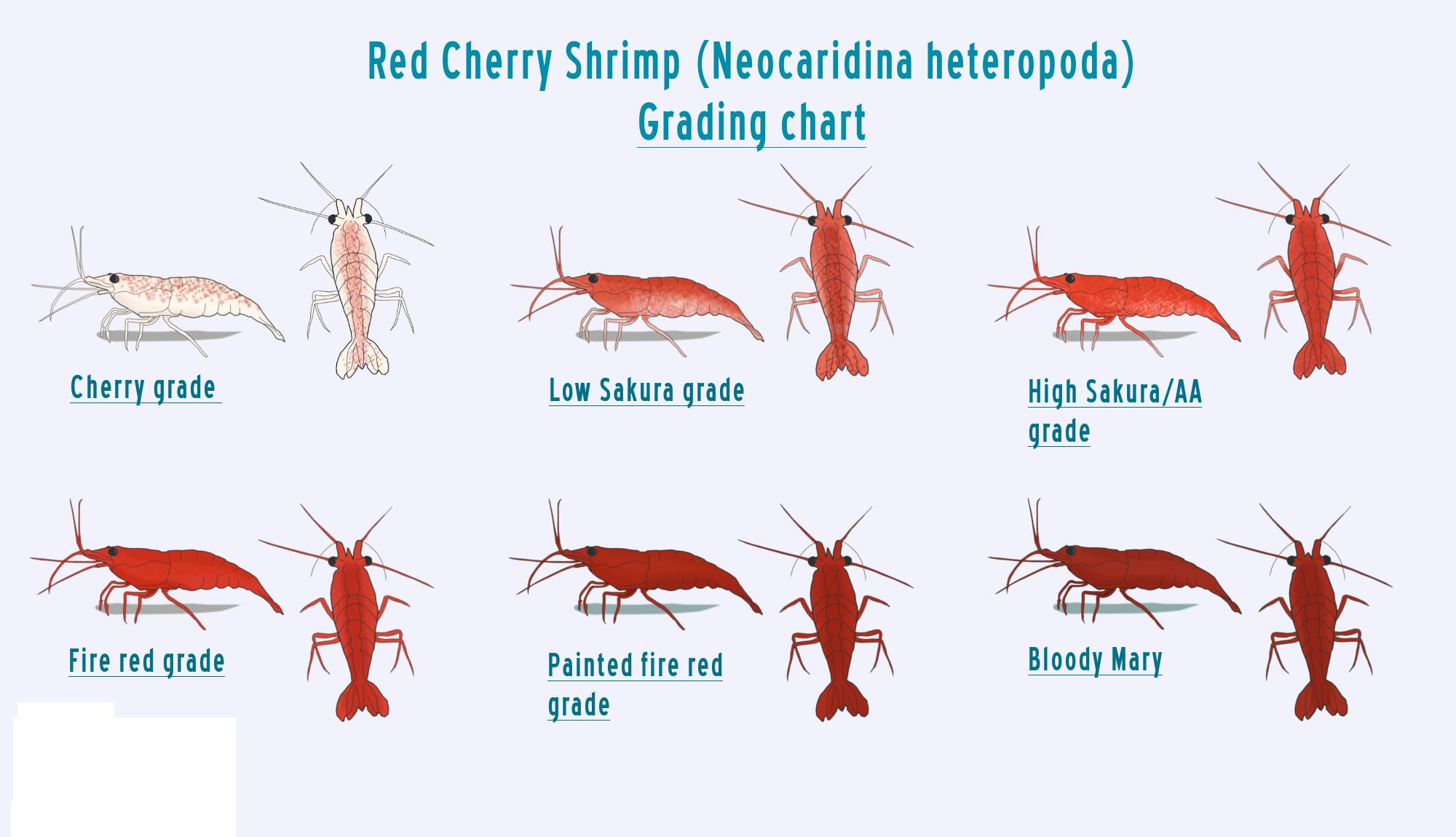 cherryshrimpchart.png