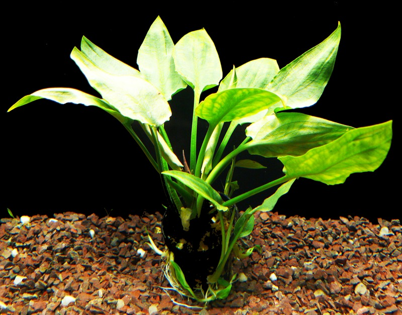 cryptocoryne-pontederiifolia.jpg