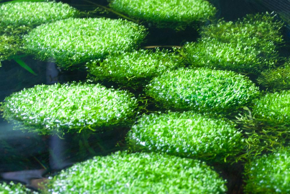 Drijfplant-Riccia-Fluitans-Watervrokje.jpg