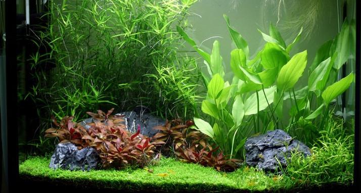 Echinodorus-Argentinensis-aquarium.jpg