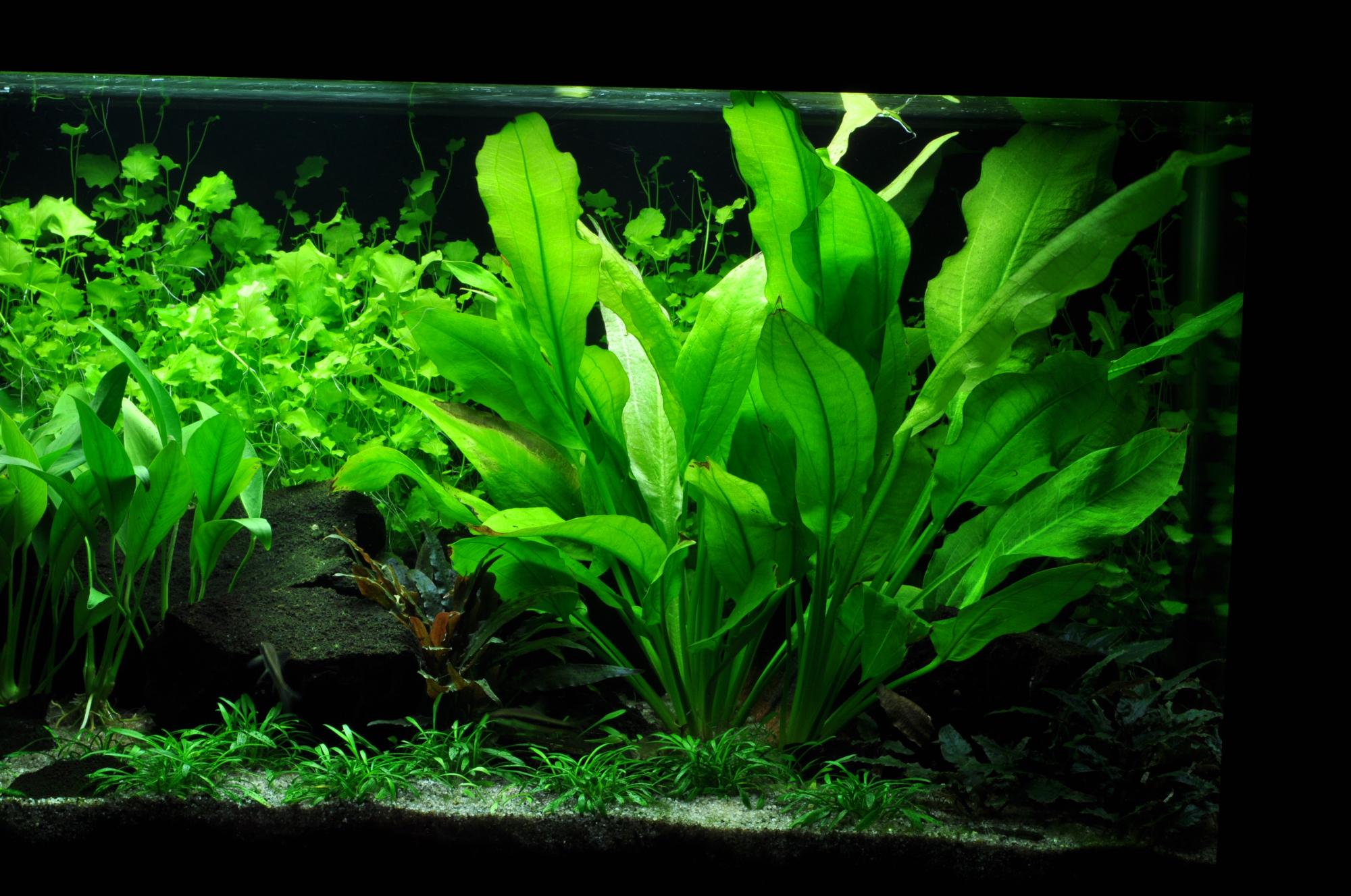 echinodorus-bleheri-grosse-amazonas-schwertpflanze.jpg