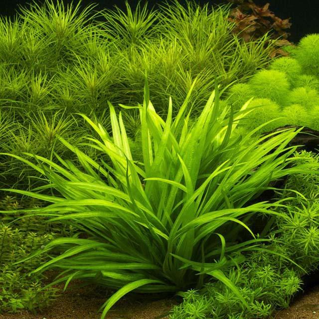 Echinodorus-quadricostatus-02.jpg
