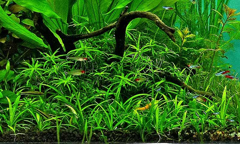 echinodorus_bolivianus.jpg