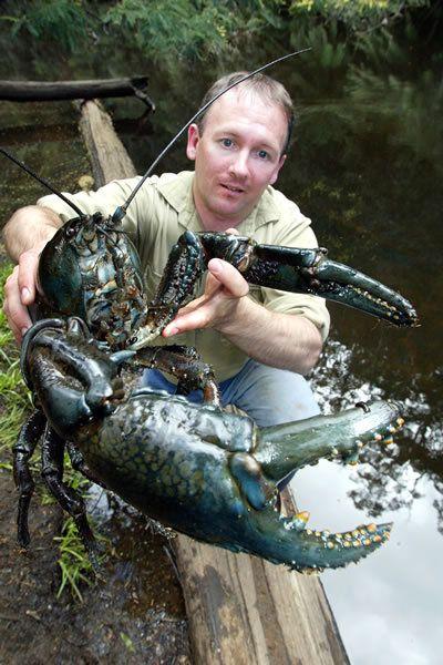 f7af2991f728d9dc4d33e4cbaa9c9ea9--freshwater-lobster-tasmania.jpg