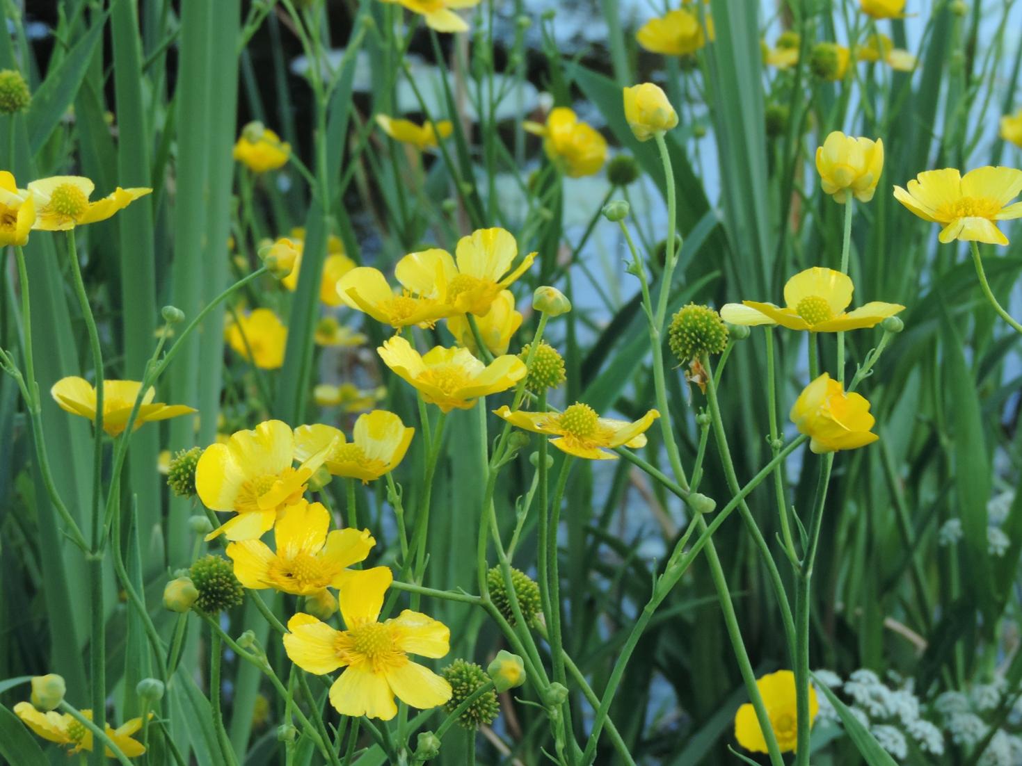 grote-boterbloem-bloemen.jpg
