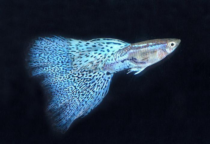 Guppi--samye-neprihotlivye-i-samye-pyostrye-akvariumnye-rybki.jpg