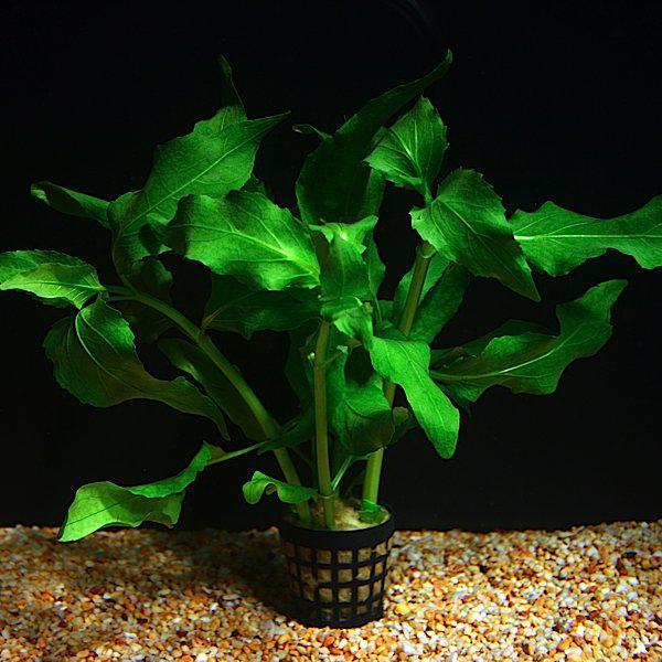 gymnocoronis spilanthoides.jpg