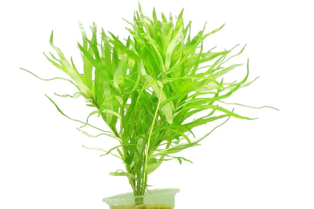 heterarthera-zosterifolia.jpg