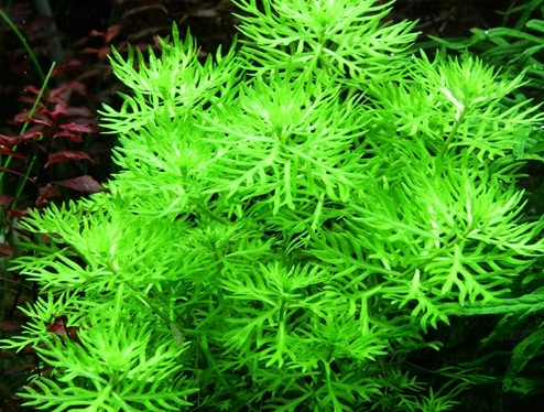 hottonia-palustris.jpg