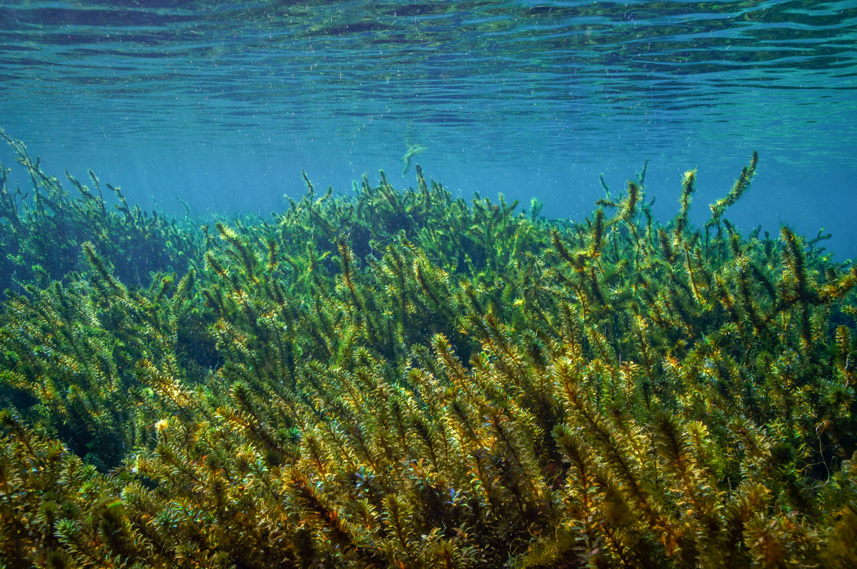 Hydrilla-Verticillata-superfood.jpg