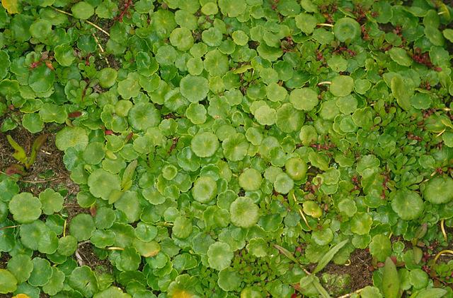 Hydrocotyle_vulgaris,I_MWS34808.jpg