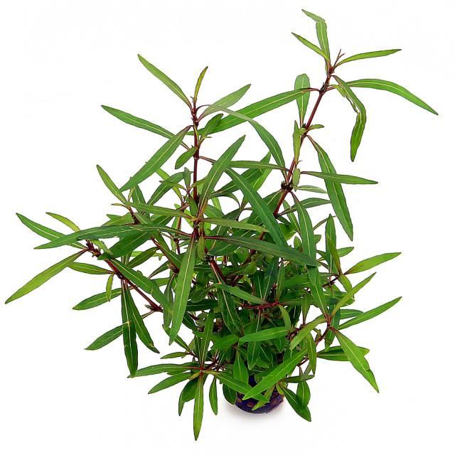 hygrophila-lancea-araguaia.jpg