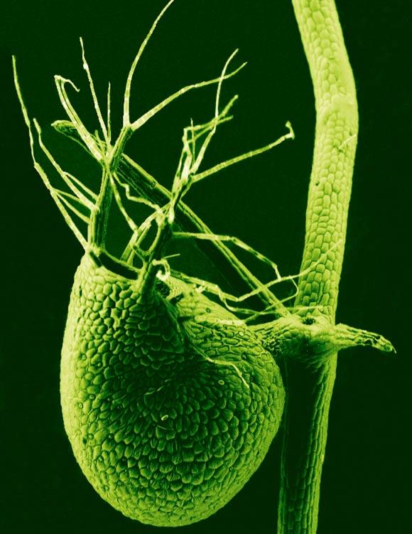 image_2528-Utricularia-gibba.jpg