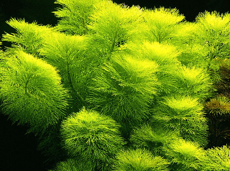 Limnophila-aquatica1.jpg