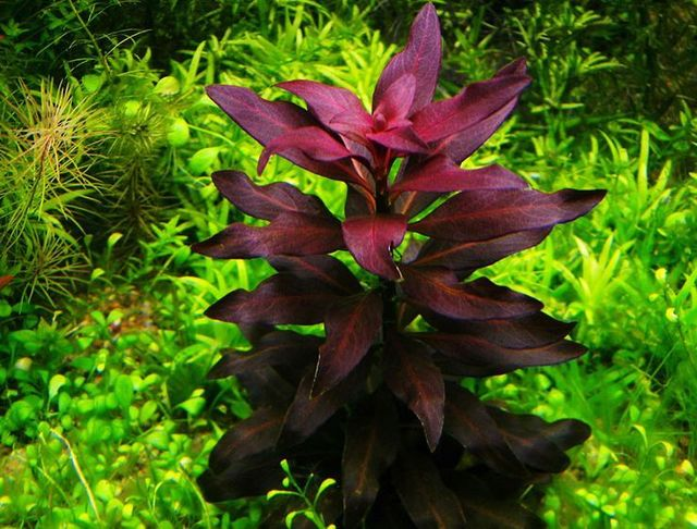 Ludwigia glandulosa 01.jpg