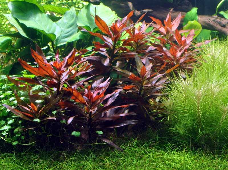 Ludwigia-glandulosa1 (1).jpg