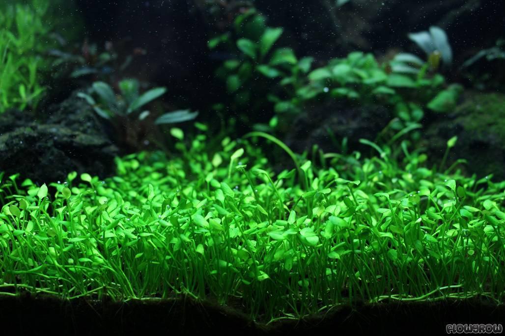 marsilea-angustifolia-53ce45ded4f0e.jpg