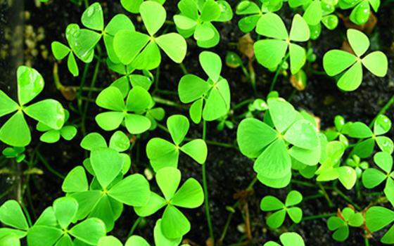 marsilea-quadrifolia.png