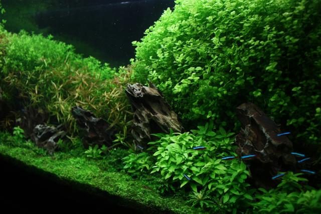 micranthemum umbrosum.jpg