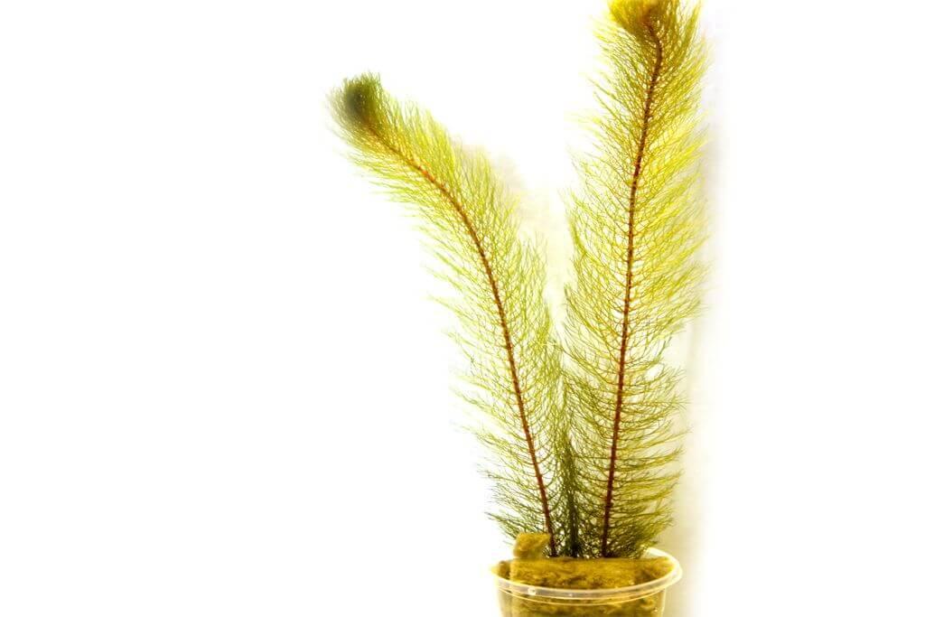 myriophyllum-pinnatum.jpg