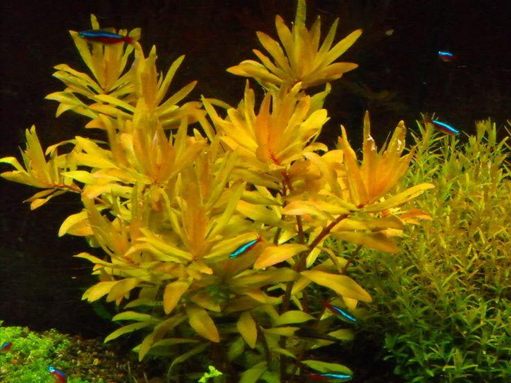 Nesaea Pedicellata 'Golden'.jpg
