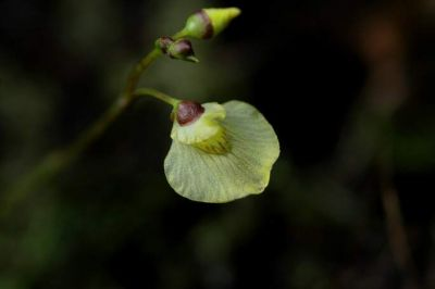 normal_utricularia-minor1311.jpg