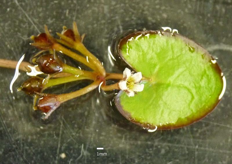Nymphoides coreana2.jpg