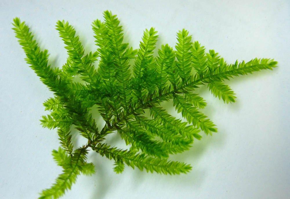 Peacock-Moss-Leaves.jpg