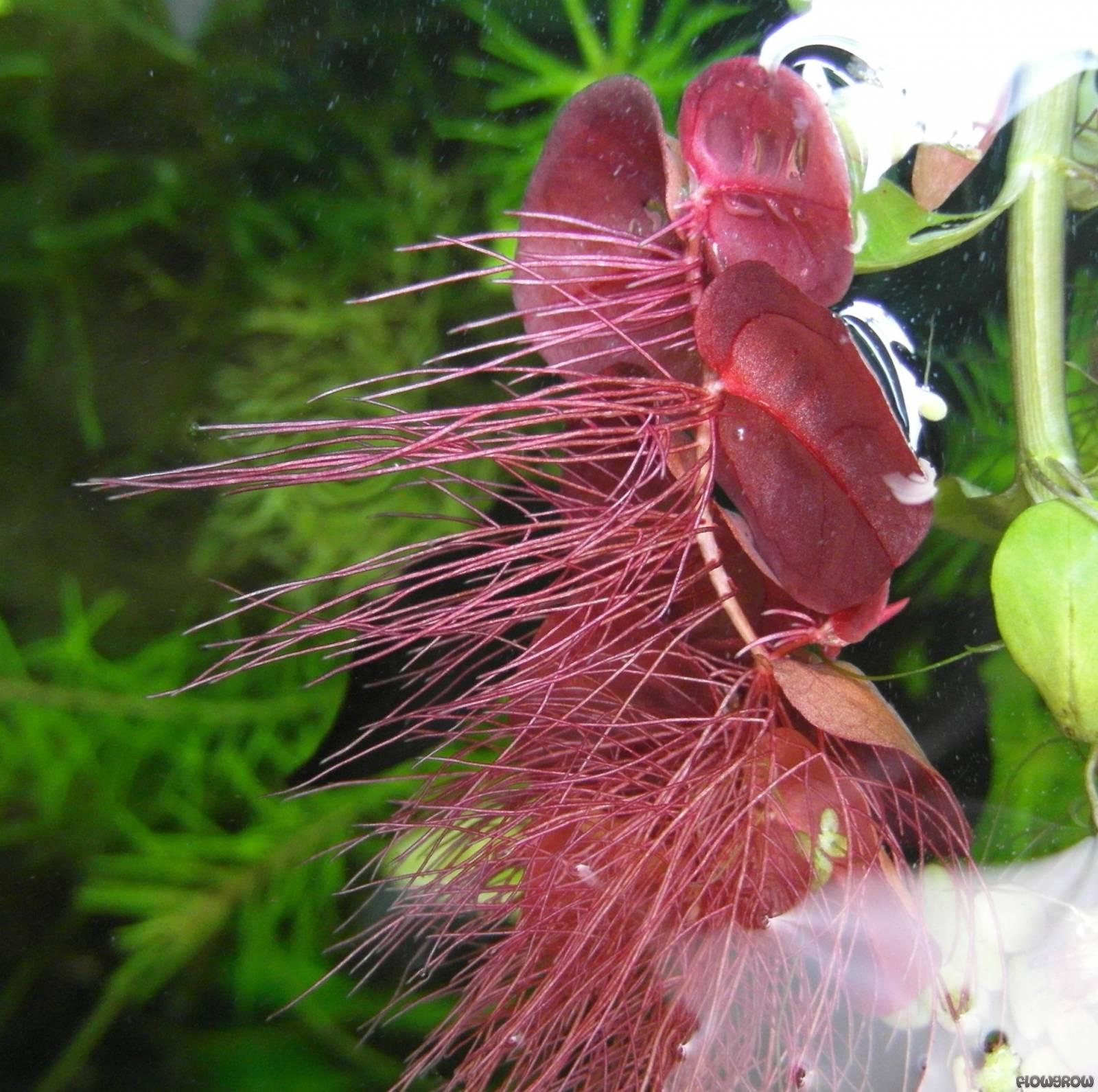 phyllanthus-fluitans-5308cb6d83fc8.jpg