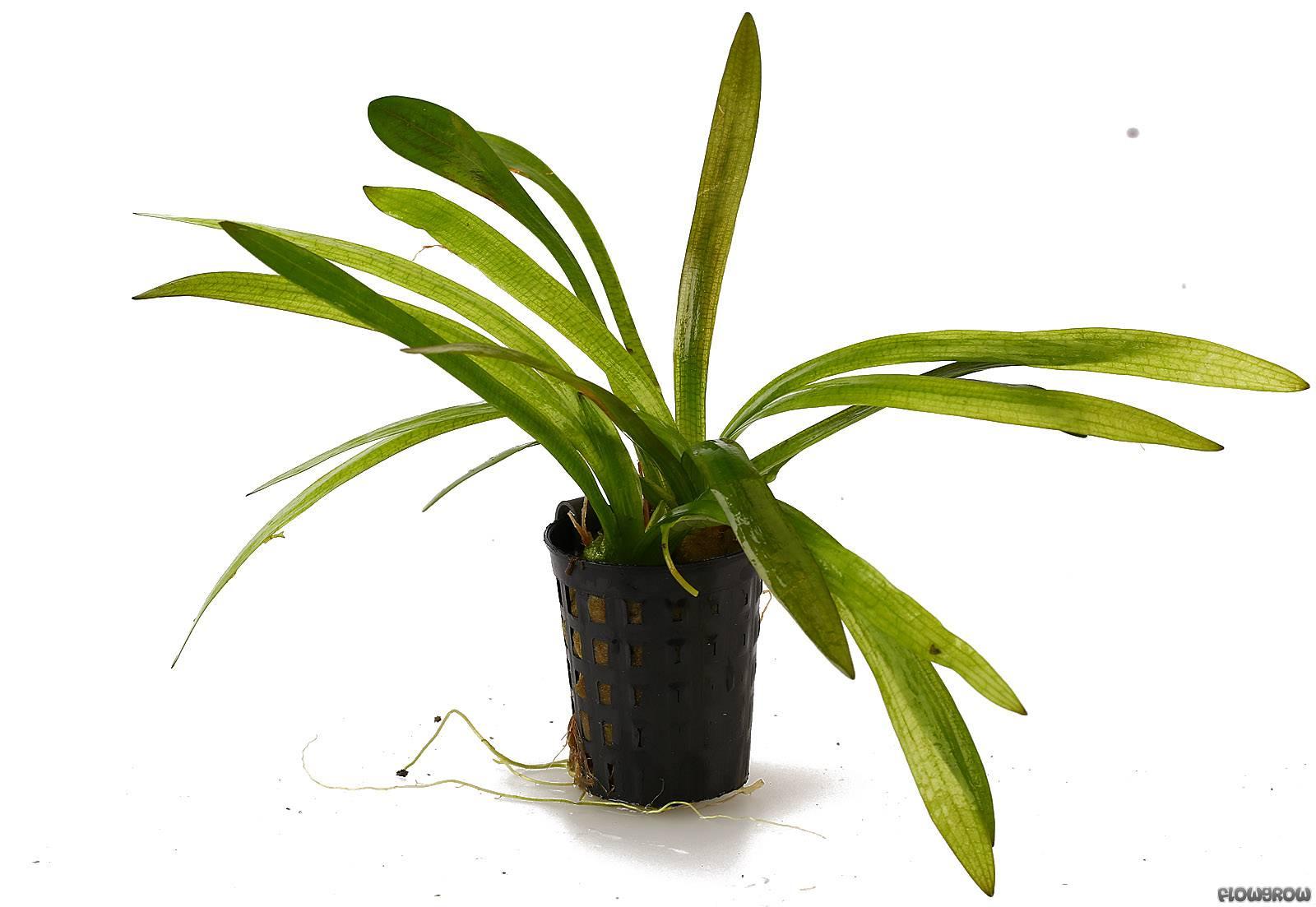 sagittaria-platyphylla-56167fea62402.jpg