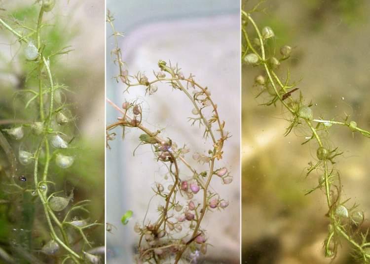 utricularia-minor38788.jpg