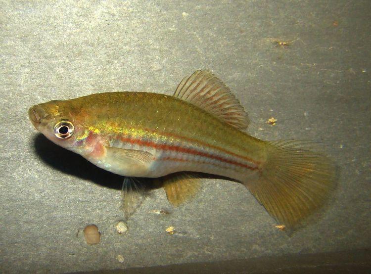 (Xiphophorus hellerii) 2f female.jpg