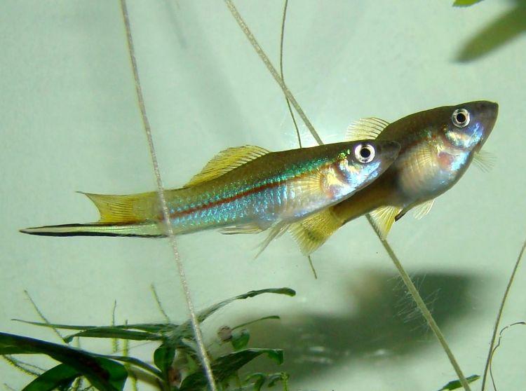 (Xiphophorus hellerii) 81f.jpg