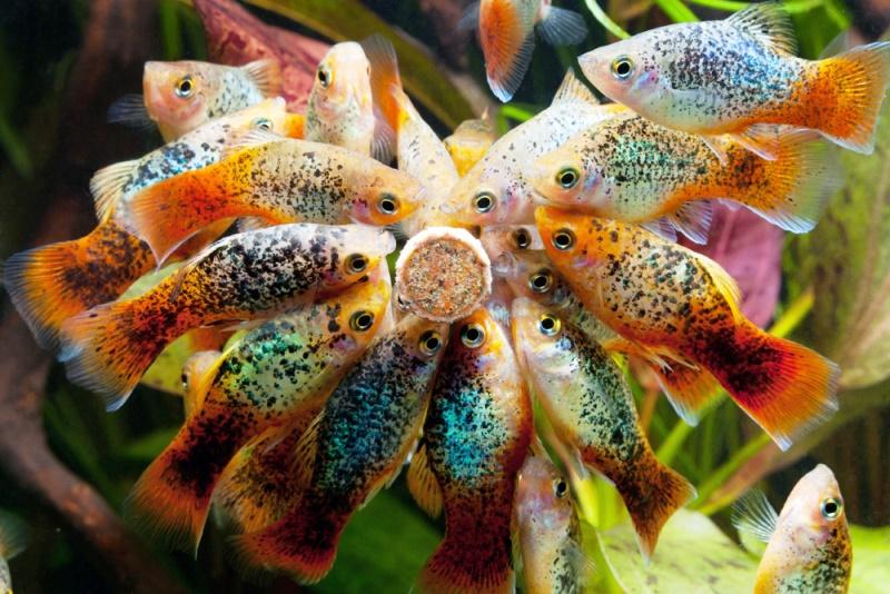 Xiphophorus-Maculatus-Platiler.jpg