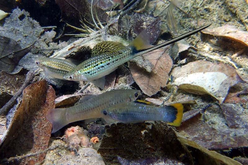 Xiphophorus montezumae.jpg