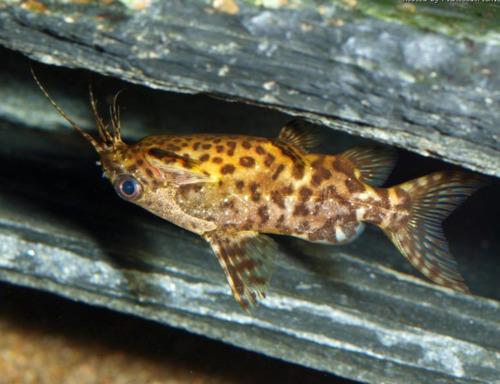 Синодонтис-перевертыш (Synodontis nigriventris)