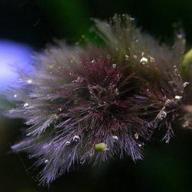 Красные водоросли или Багрянки