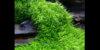 Utricularia_Graminifolia.jpg